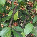 caféier : dégustation de café