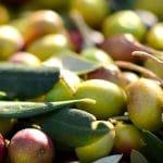 dégustation huile d'olive