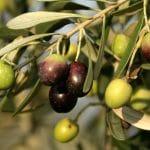 olivier et olives veraison arômes